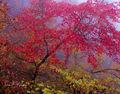 Misty Red print
