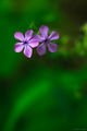 Wild Purple Downey Phlox print