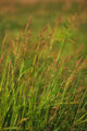 Field Grass in the Breeze print