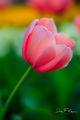 Spring Tulip print