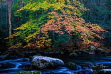 Fall 2015,Great Smokey Mountains,Middle Prong Little River,River elm tree,Tremount,woodlands and trees gallerie