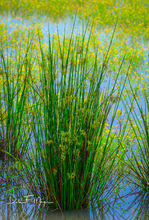 Arkansas Swamp Grass, Spring 2016, Water Flowers, White River Area