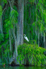 Atchafalaya River Basin, Atchafalaya swamp, Cypress tree, Southern Places Gallery, Spanish Moss, Spring 2016, White Egret