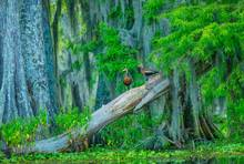Black Bellied Whistling Ducks, Atchafalaya Swamp, Louisiana