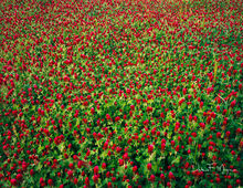 4X5 Fuji Film,Central Arkansas,crimson clover