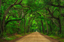 Botnay Bay Rd, Coastal Photos of the Eastren Seabord Gallerie, Dirt Road, Edisto Island, Live Oaks