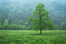 North Arkansas,Ponca Valley,Tree in Rain,spring 2015