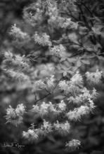 Arkansas, Flora Gallery, Ozark national forest, Wild Azaleas