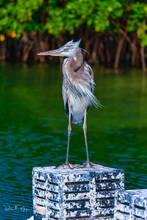Blue Heron,coastal,key west,lobster trap,ocean