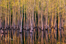bog, conway arkansas, Morning Light, spring, tupelo trees