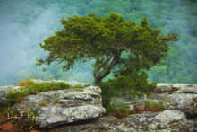 Bonzi Tree,Mt mgazine,Overlook,Rock Outcrop,woodlands and trees gallerie