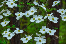 Dogwood Blooms, Ozark National Forest Arkansas