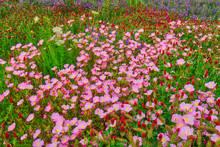 North Arkansas,Queens Annes Lace,Showy Evening Primrose,blue bells,crimson clover,flowers,wildflower meadow