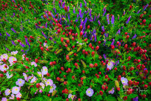 Central Arkansas, Showy Evening Primrose, blue bells, crimson clover, flowers