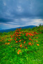 Flora Gallery, Rhododendrons, Roan Mountain NC, Summer 2018