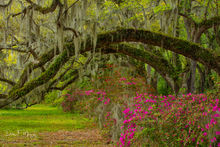 Azaleas, Live Oaks., Magnolia Plantation South Carolina, Southern Places Gallery, Spring 2019