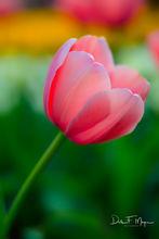 Flora Gallerie,Garvan Woodland Gardens Hot Springs Arkansas,Spring 2016,Spring Tulip,flower