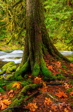 Western Red Cedar Tree and moss, Salmon River Oregon, fall 2016