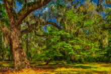 Live Oaks, Southern Places Gallery, Spanish Moss, Spring 2019, Yemassee SC