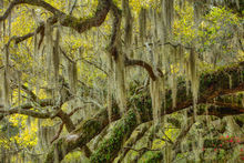 Live Oak Tree Limbs and Spanish Moss, Magnolia Plantation South Carolina