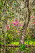Azaleas, Cypress, Magnolia Plantation South Carolina, Spanish Moss, Spring 2019