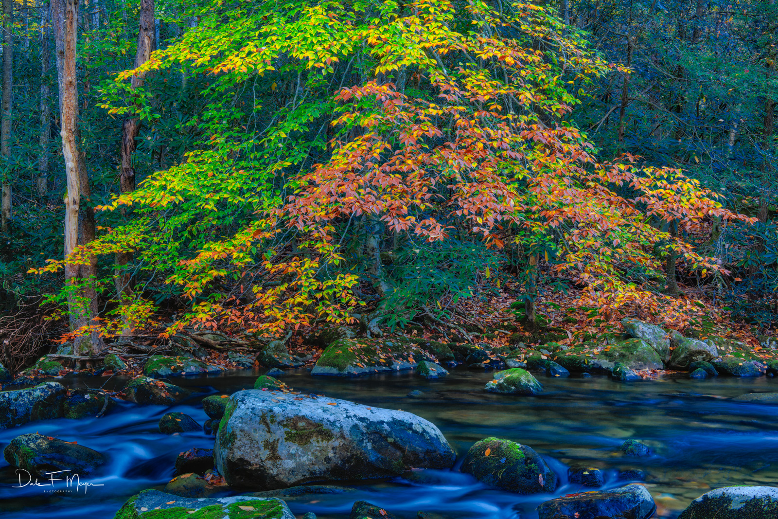 A River Elm in fall color spread over the Little River in the Tremount Area of the Great Smoky Mountains. This tree seems as...