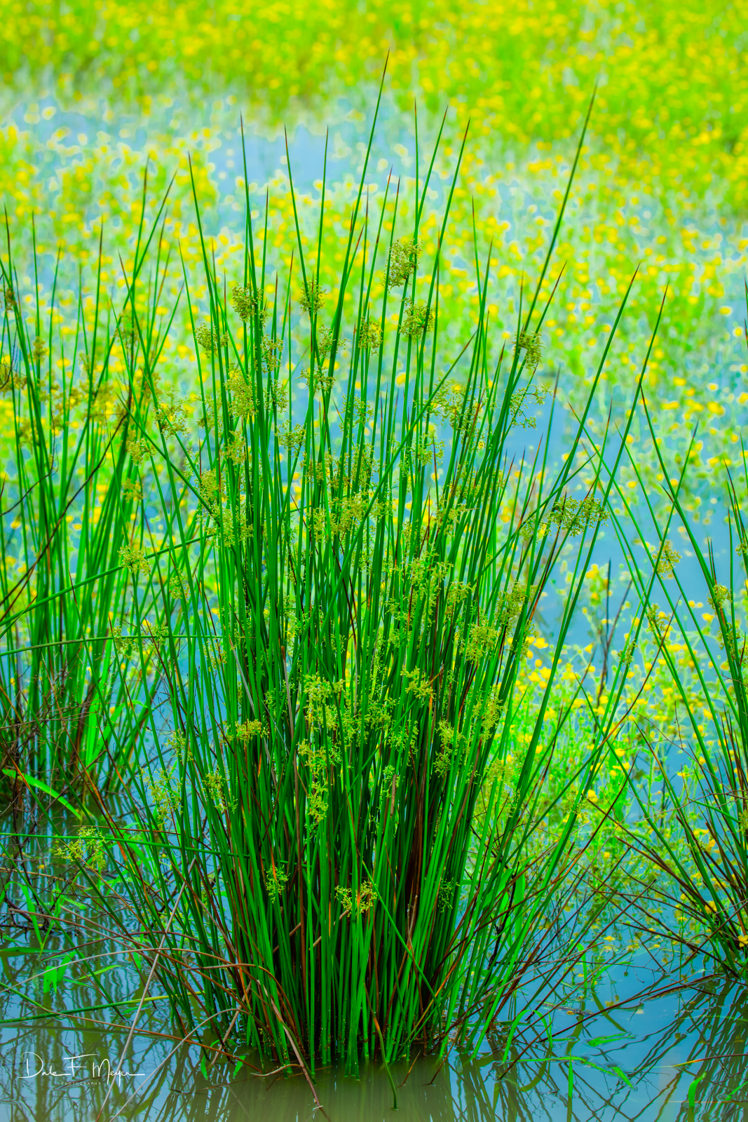 A beautiful stand of swamp grass in harmony with aback dropof yellow water flowers on a wet overcast spring day....