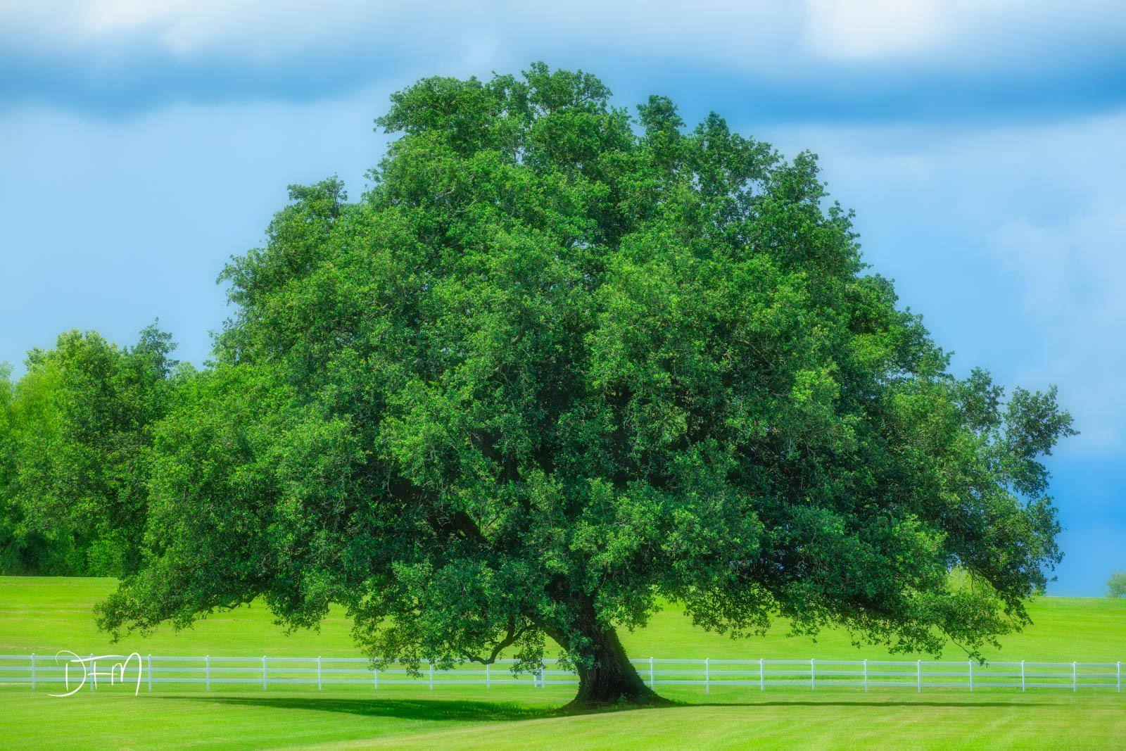 A magnificient lone Oak Tree on the Alley of Oaks Plantation, Vacherie LA.