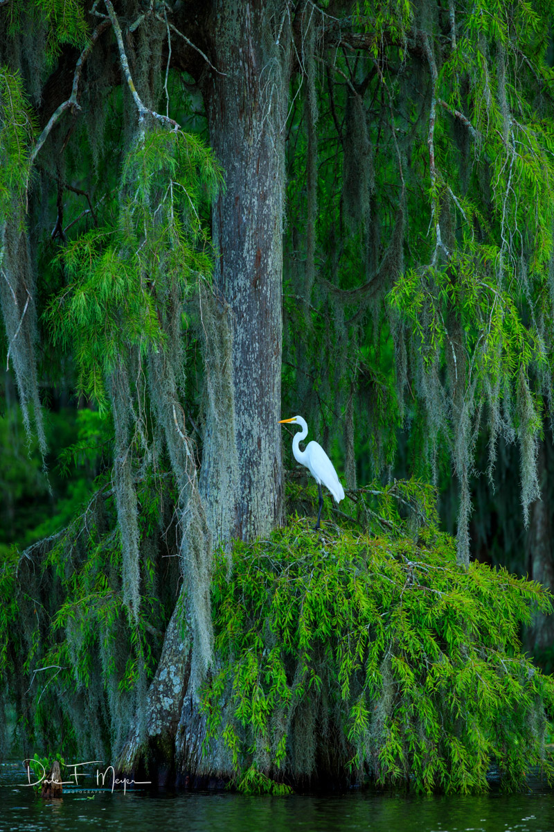Atchafalaya River Basin, Atchafalaya swamp, Cypress tree, Southern Places Galerie, Spanish Moss, Spring 2016, White Egret, photo