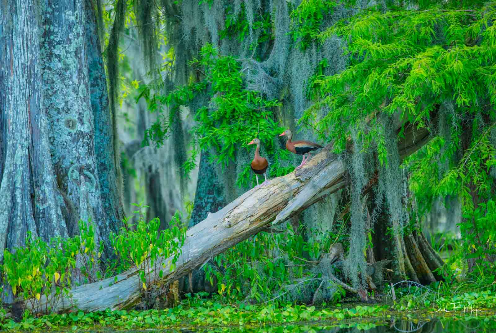 A pair of Black Bellied Whistling Ducks in theAtchafalaya Swamp which isthe largest wetland and swamp in the United...