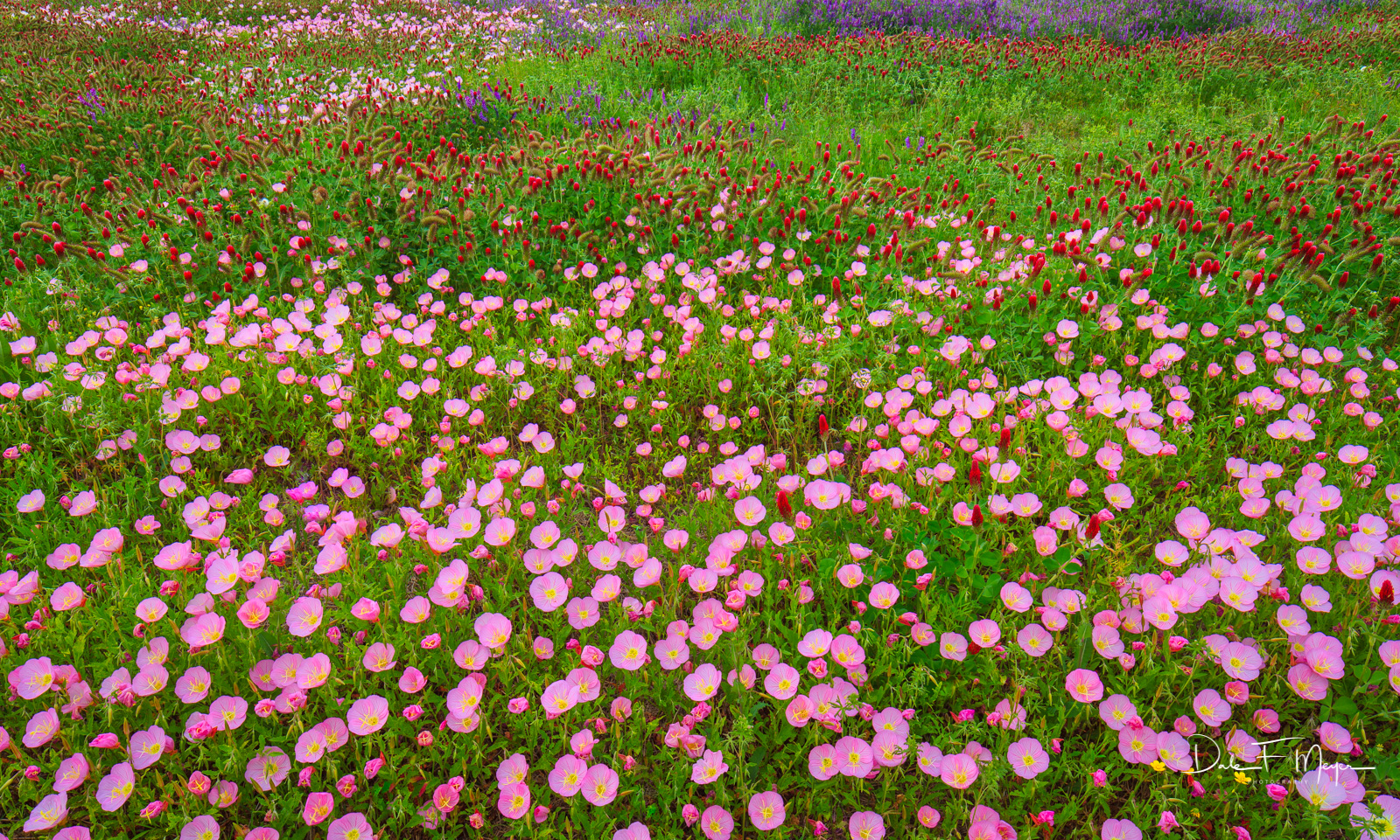 North Arkansas,Showy Evening Primrose,blue bells,crimson clover,flowers,spring 2012,wildflower meadow, photo