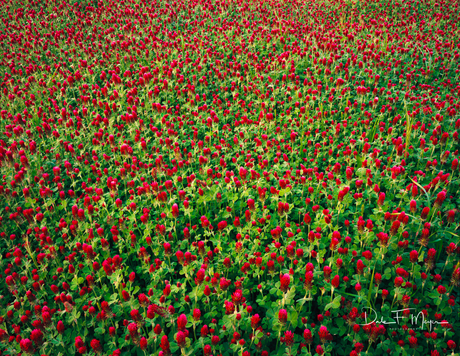 4X5 Fuji Film,Central Arkansas,crimson clover, photo