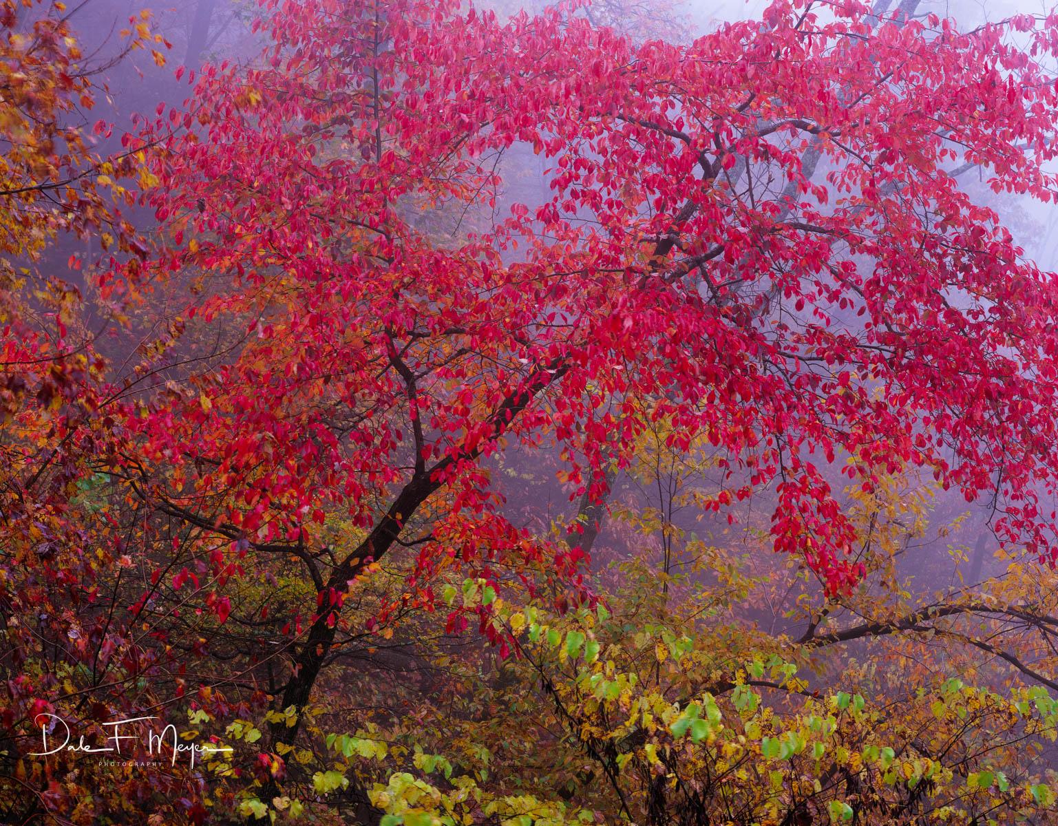 4X5 Fuji 50 Slide Film,Gum Tree,North Arkansas,Ozark National Forrest,fall,fog, photo