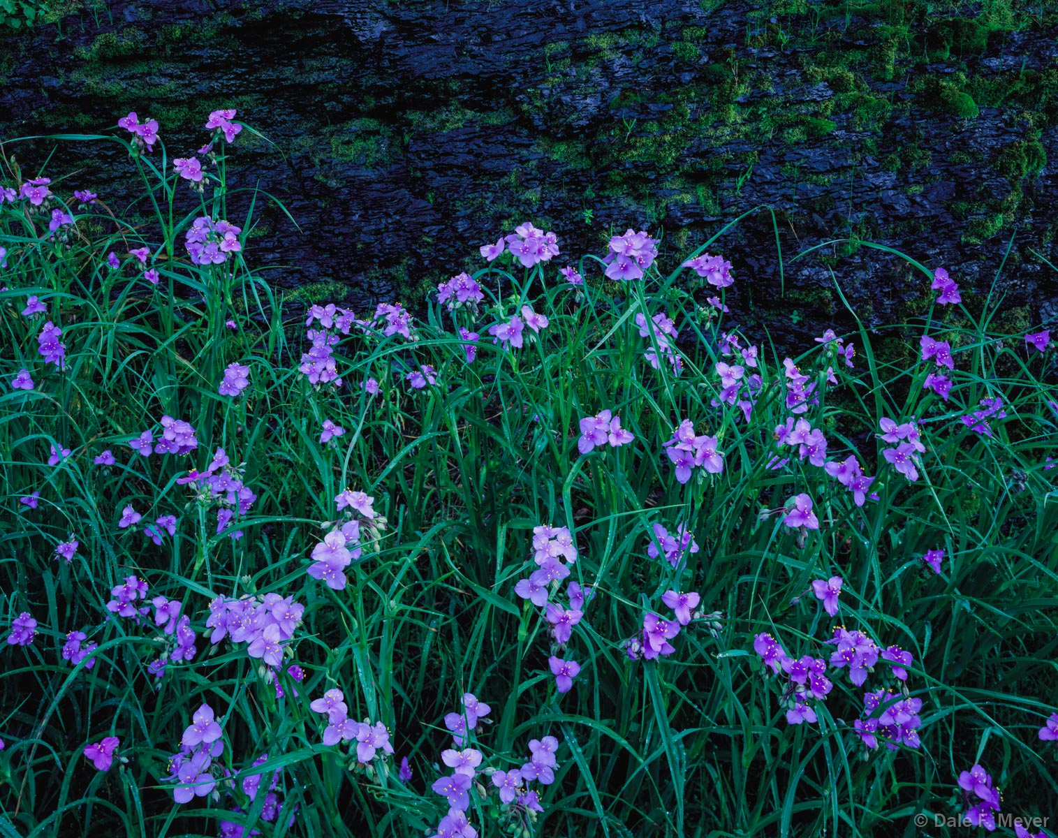 4X5 Fuji 50 Slide Film,bluff,spider worts,spring flowers