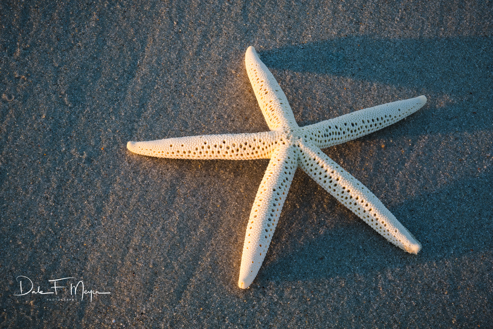 Starfish Shell on washed sand beach, Oak Island NC in warm morning light.