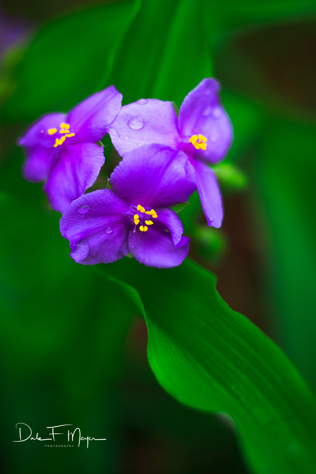 <p>wild violets, flowers, spring 2015, photo
