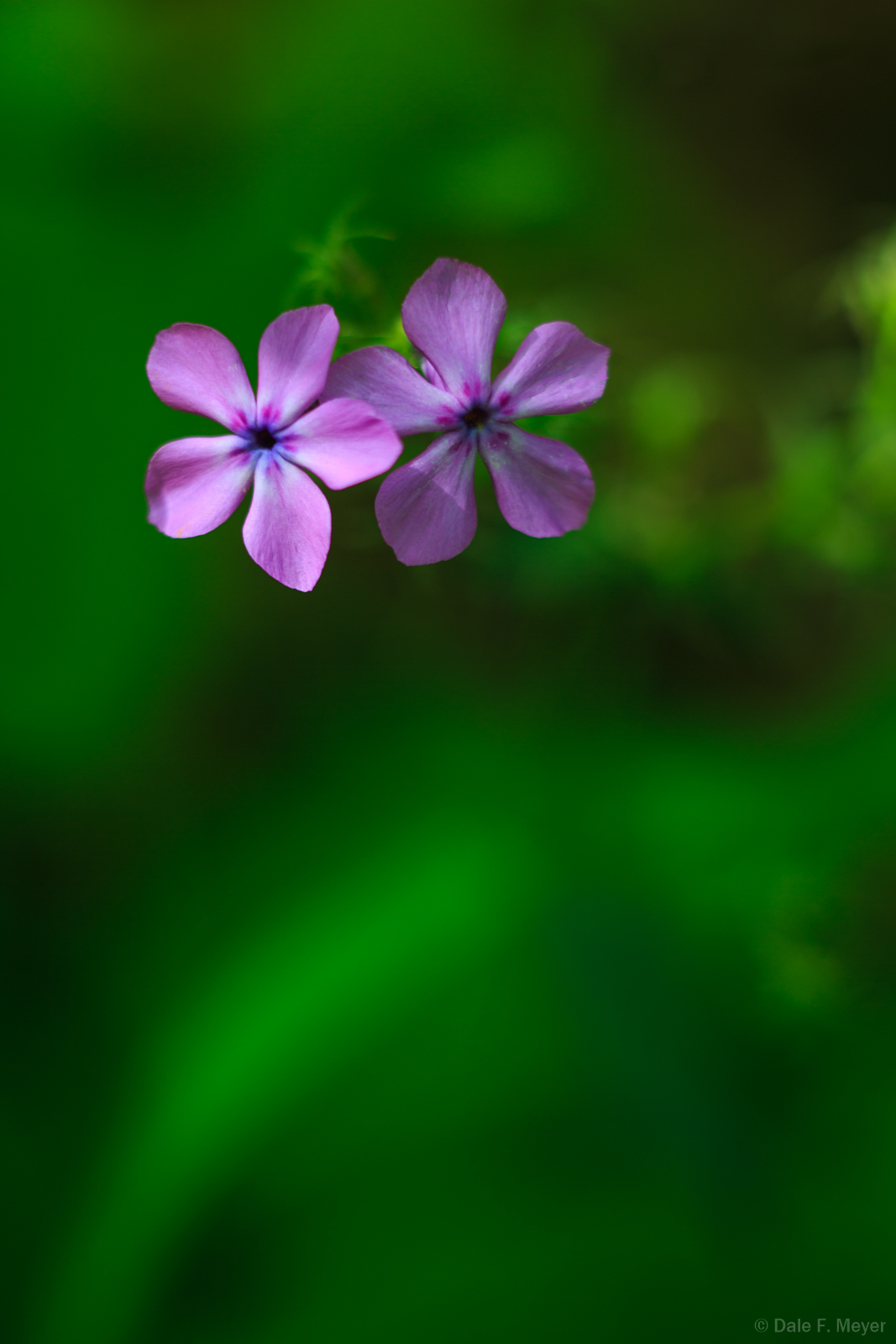 Purple Downy Phlox,Flora Gallerie, flowers,spring 2015,wild flowers, North Arkansas, photo