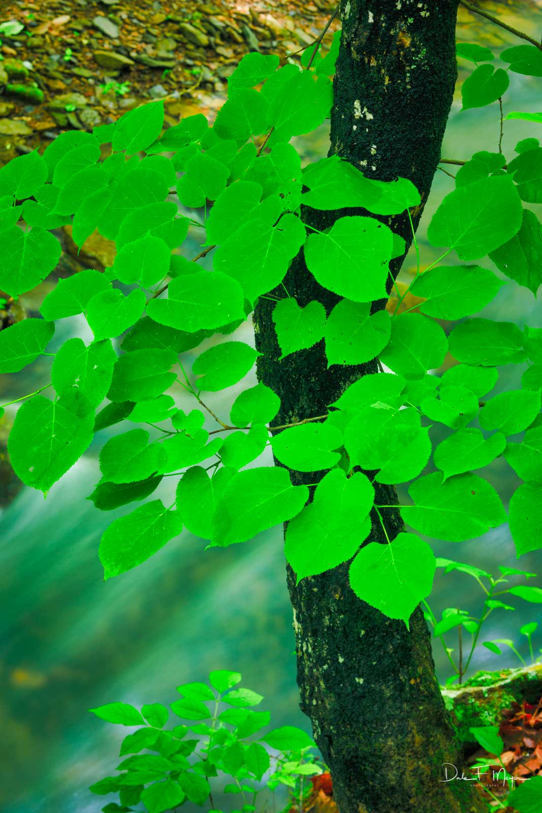 An American Basswood Tree saturated from steady rainfall on the bank of a fast flowing stream. The leafs of these medium sized...