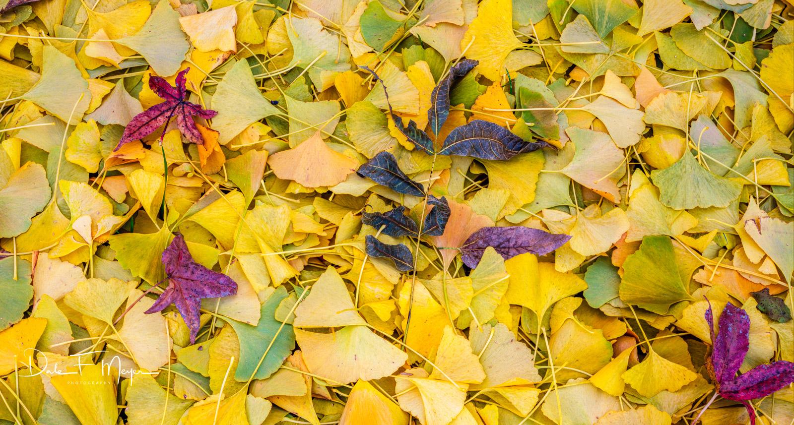 fall, ginko tree leafs, photo