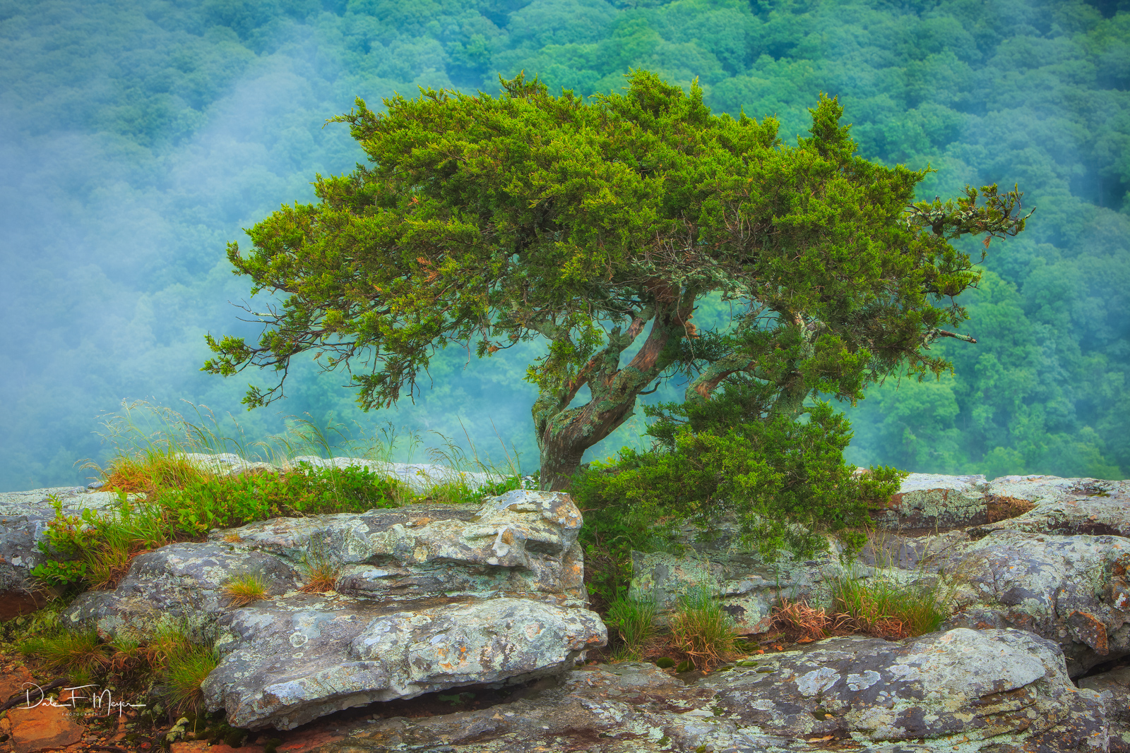 A Bonzied Cedar Tree growing in the crevis of this Rock Outcrop on a high overlook of Mount Magazine Arkansas. This tree has...