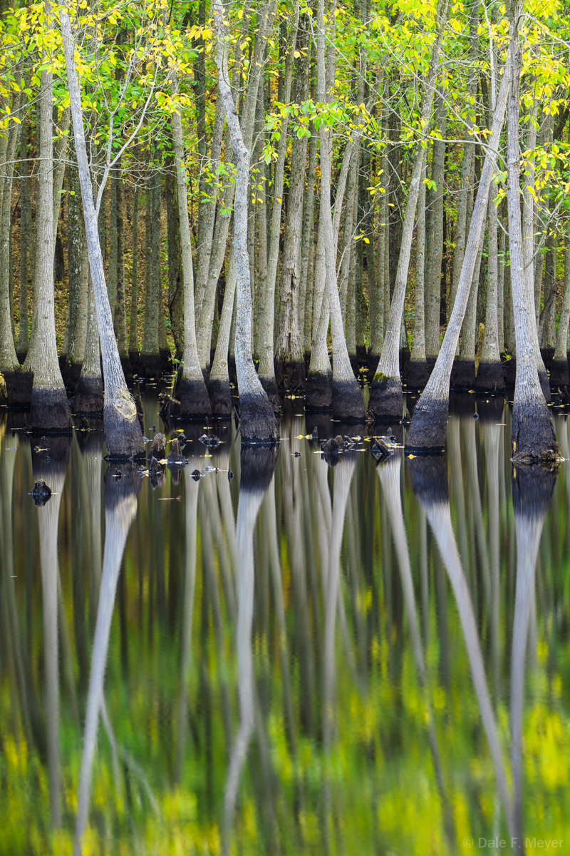 Tupelo Trees late summer in a bog near Conway Arkansas. The water is so still a times under these trees that I always enjoy a...