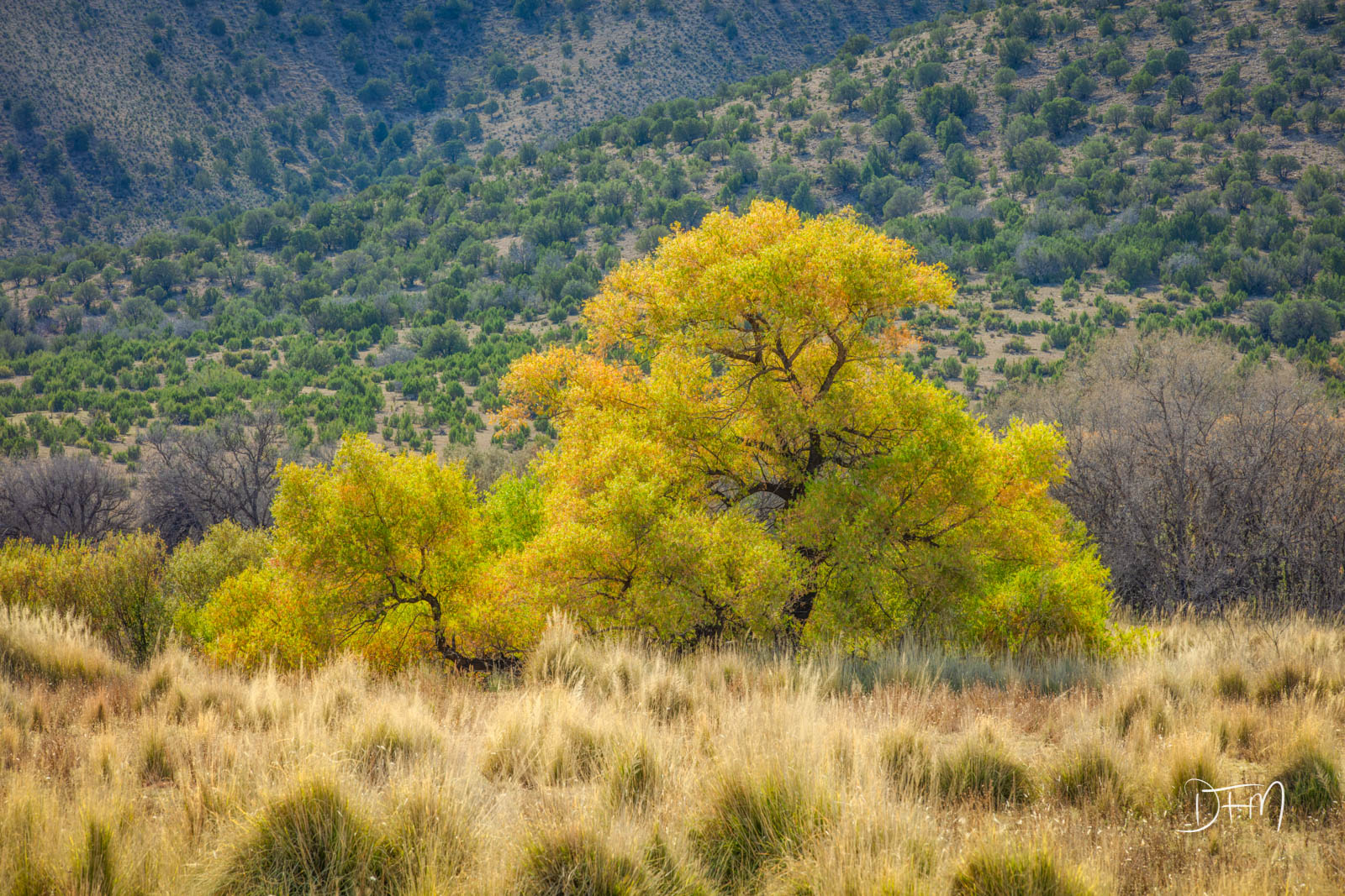 A super Large New Mexico Cotton Wood Tree spread out in a valley with brilliant fall colors. This tree had the valley captured...