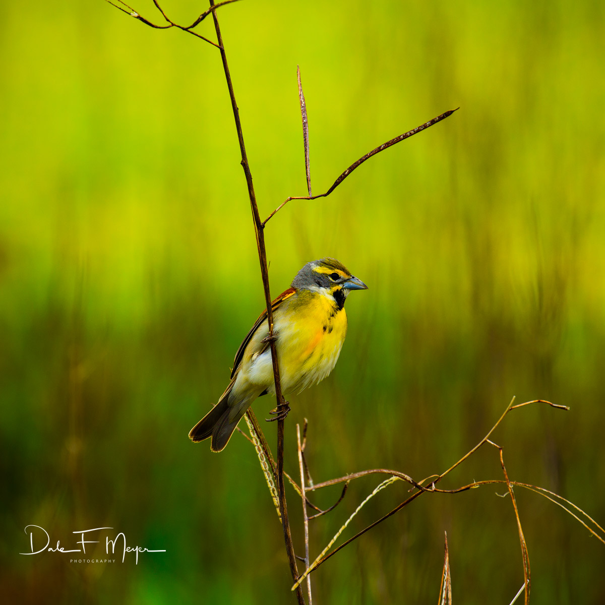 Atchafalaya River Basin Swamp, Dickcissel, Southern Places Galerie, Spring 2016, bird, photo