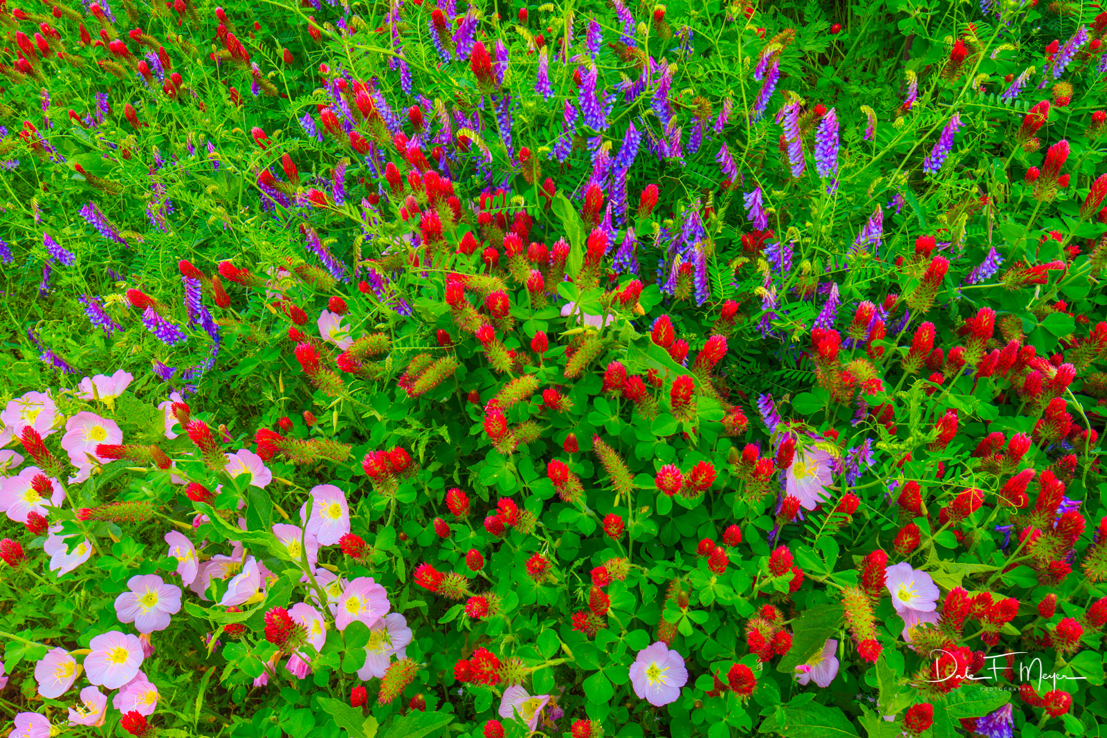 Central Arkansas, Showy Evening Primrose, blue bells, crimson clover, flowers, photo