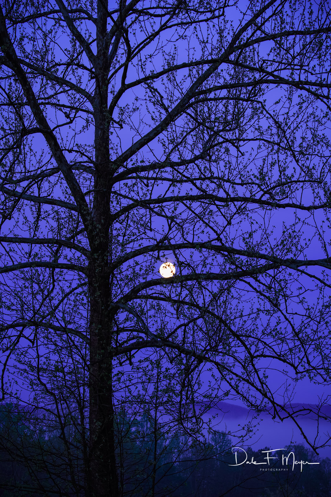 Cades Cove,Cottonwood Tree and Moon,Great Smokey Mountains,Spring 2013, photo