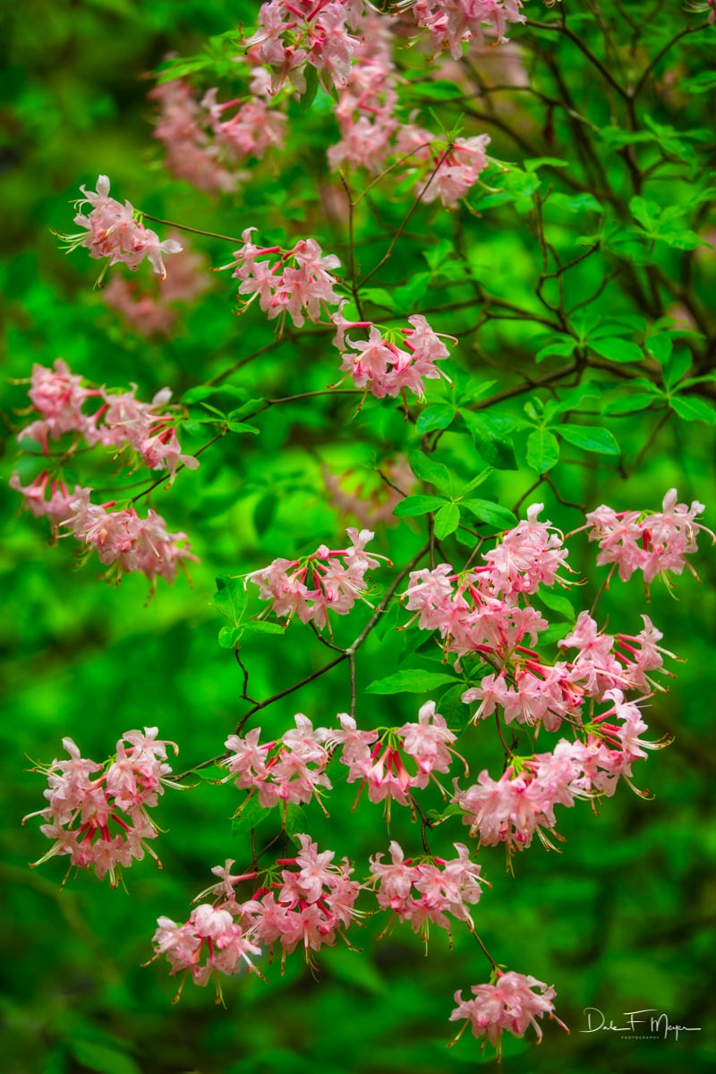 Wild Azaleas in the Ozark National Forest. These flowers are very abundant in some of the Ozark hillsides leading down into the...