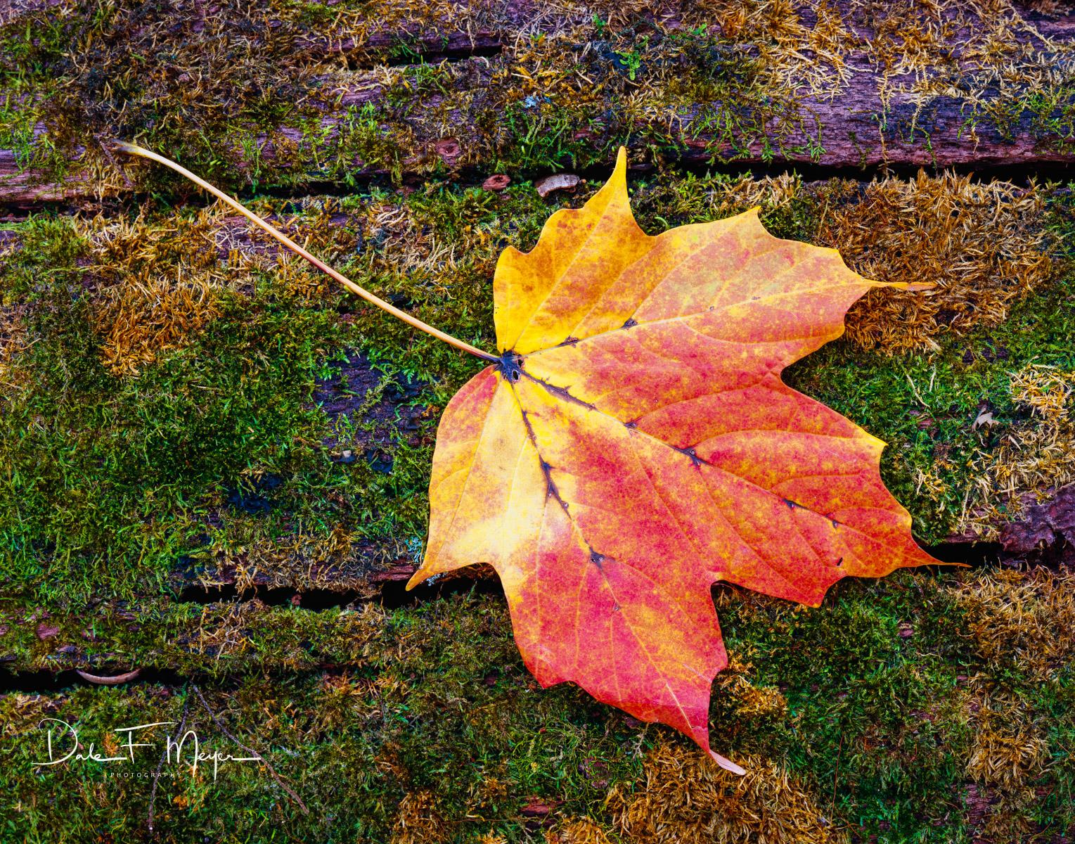 4X5 Fuji 50 Slide Film,fall,maple leaf on moss log, photo