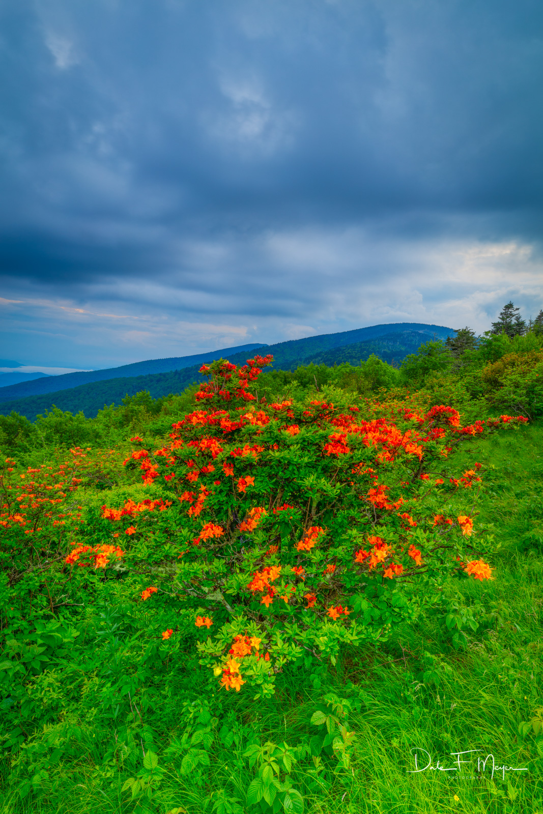 Flora Gallery, Rhododendrons, Roan Mountain NC, Summer 2018, photo