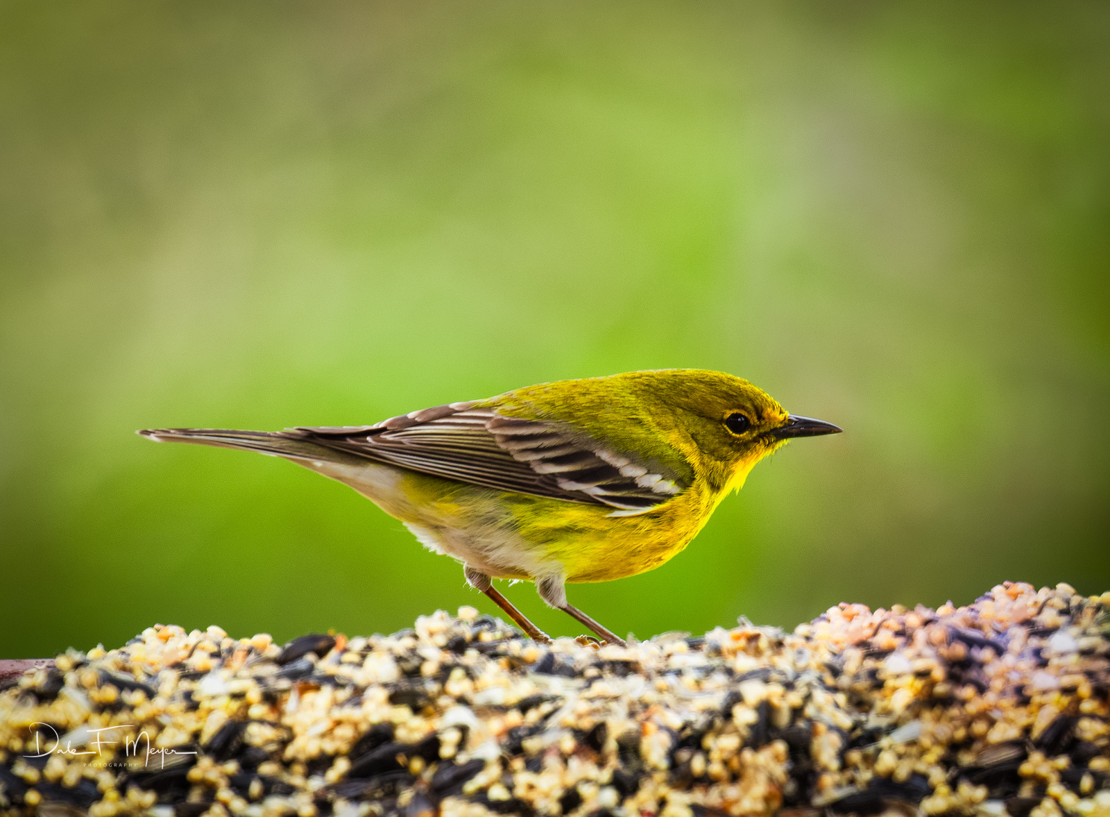 Little Yellow Finch on a perch of golden seed. These little birds become brighter yellow as spring unfolds and are quite the...