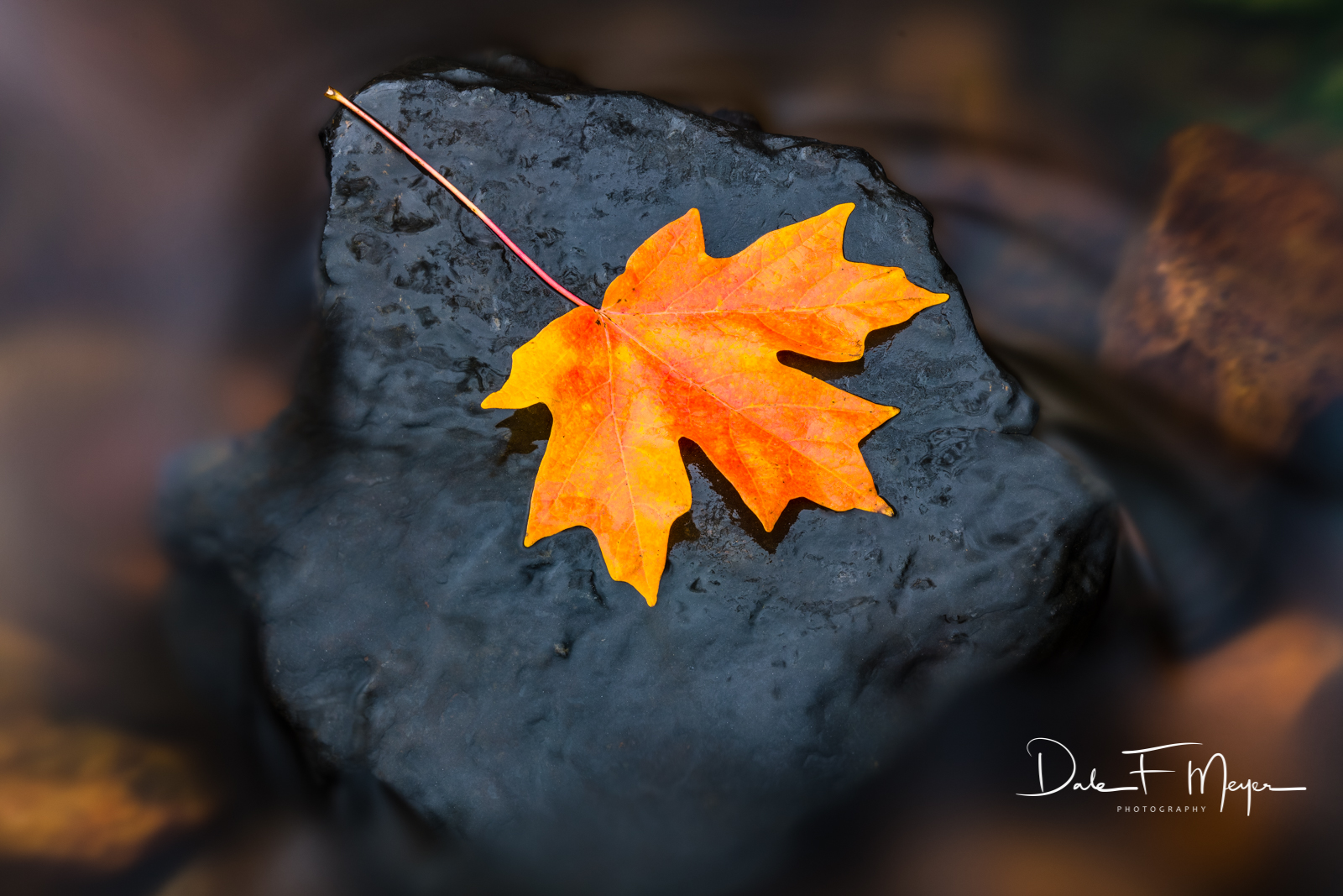 A perfect Maple Leaf at rest on a black shale stone in a water run off of the Buffalo River in North Arkansas.